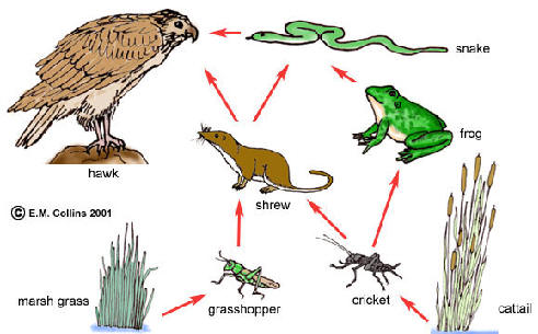Below are two illustrations of food webs.